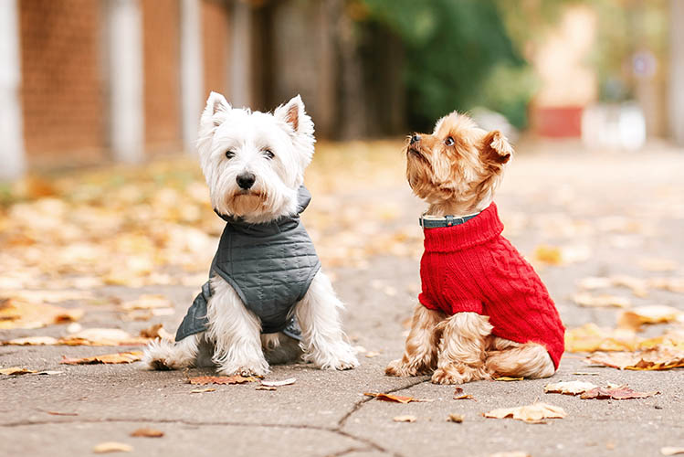 2 small dogs wearing jackets