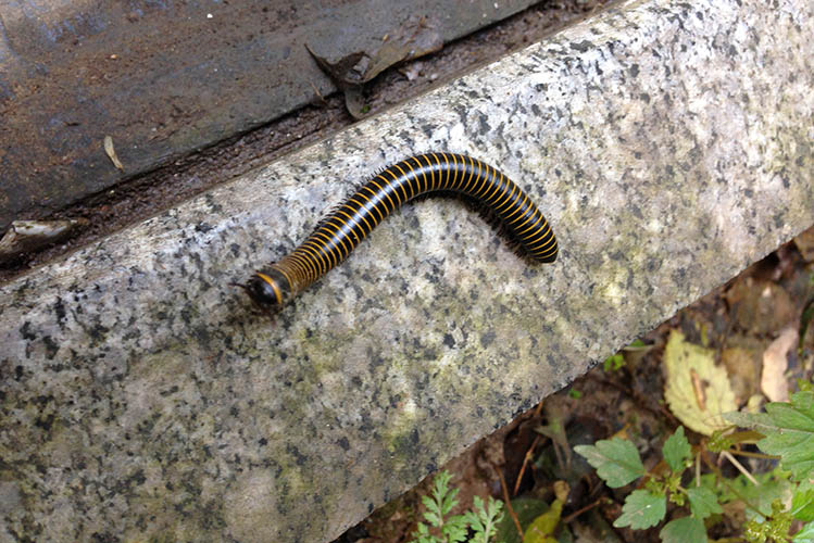 black yellow millipede