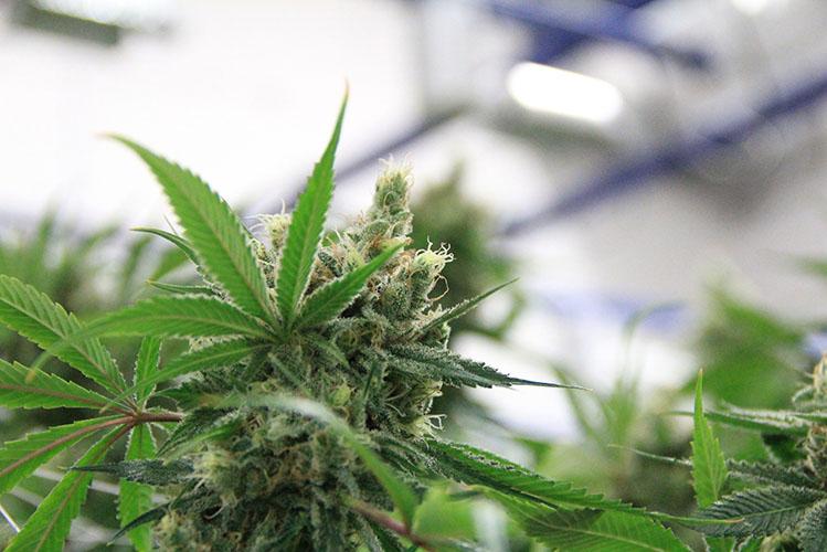 cannabis marijuana pot herb