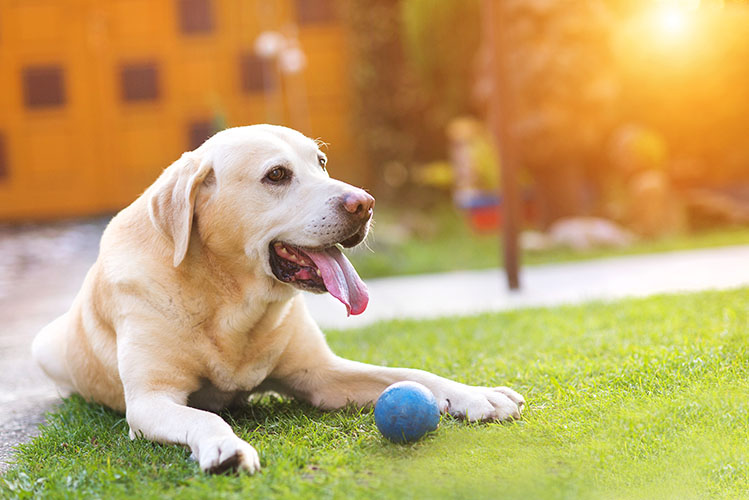 Dog playing outside in the garden with a little blue ball