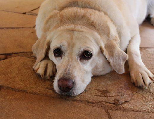 fat dog labrador