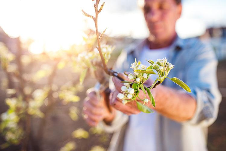 man pruning apple tree in his garden